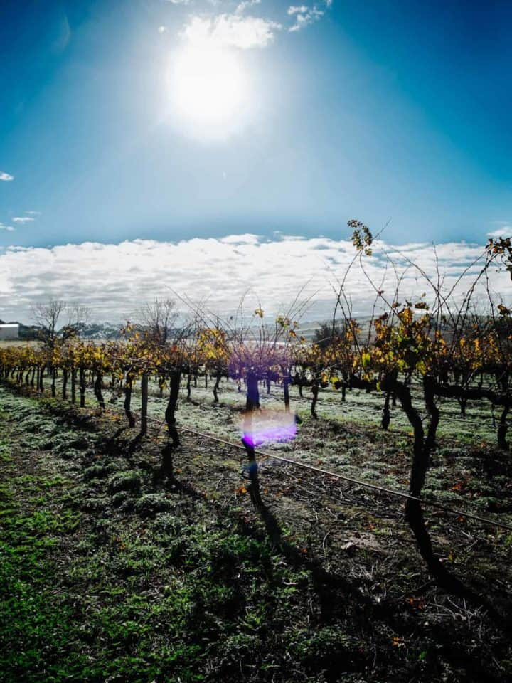 sun shining on vineyard